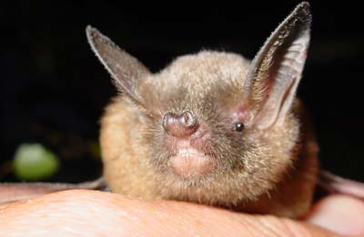short tailed bat