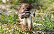 stoat with chick gallery