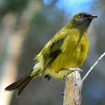 bellbird-branch-1200