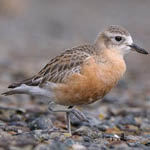 New Zealand dotterel